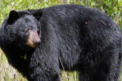 Image of a black bear