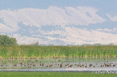 Ducks on Ladd Marsh