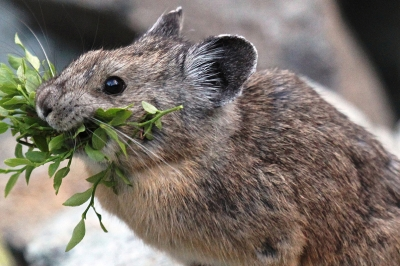 American pika with lunch