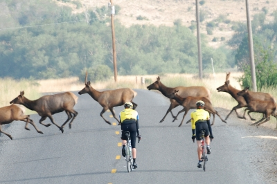 image of two bicyclists stopping to allow a herd of elk to cross the road