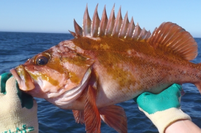 photo of a copper rockfish