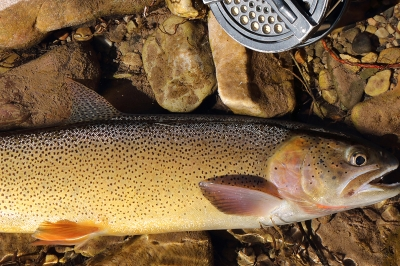 image of a cutthroat trout