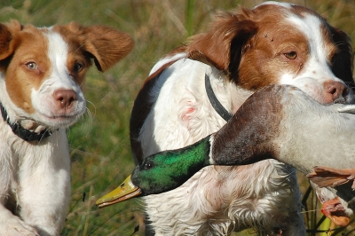 image of two spaniel dogs (one a pup) retrieving a duck