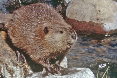 image of beaver sitting on a rock in the river