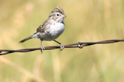 a sparrow sits on a barbed wire fence