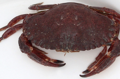 a red rock crab