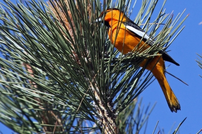 A Bullock's oriole sitting in a pine tree. The body is orange and the wings are black and white.
