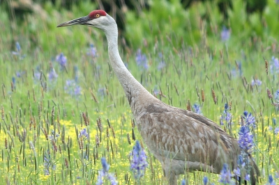 a sandhill crane walks through a pasture