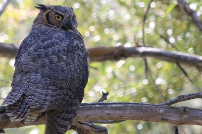 Night Owls May Face Special Challenges >> Owls Oregon Department Of Fish Wildlife