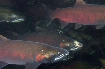 a group of coho with their spawning coloration swim together