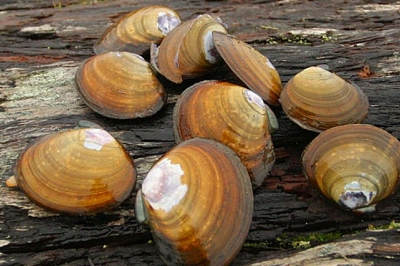 a cluster of purple varnish clams are laid out on a wet log