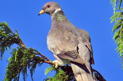 Band-tailed pigeon roosting in tree