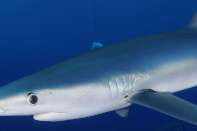 a blue shark swims by the photographer