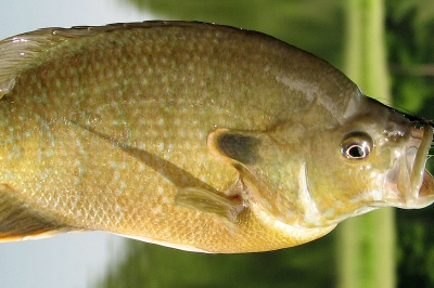 A bluegill fish dangles from a hook. The fish is greenish-brown.