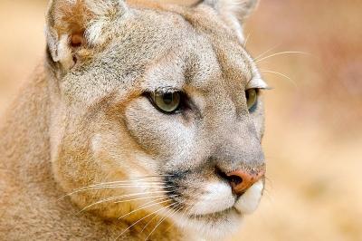 cougar com