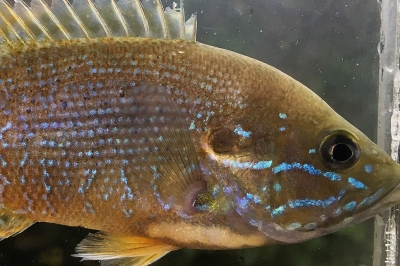 A green sunfish in a clear fish tank. The fish is greenish-brown with opal blue accents throughout.