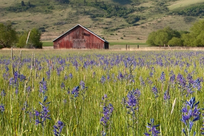 Camas flowers on Ladd Marsh Wildlife Area