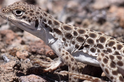 Long-nosed leopard lizard