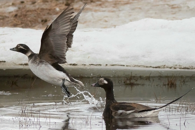 two long-tailed ducks swim in a pond surrounded by snow. One of the ducks is taking flight