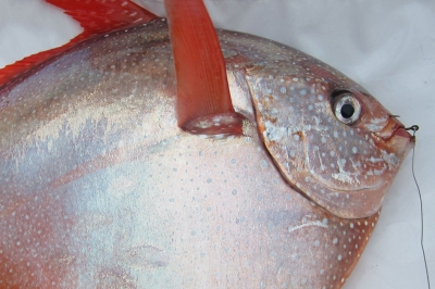 an opah fish with a hook in its mouth lays in the bottom of a boat. The fish is disc shaped with a pale pink body and bright red fins and tail