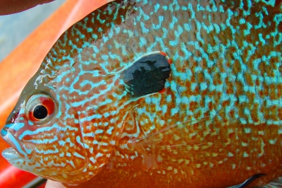 A pumpkinseed sunfish is held by the successful angler. The fish is orange with brilliant blue mottling and a red eye.