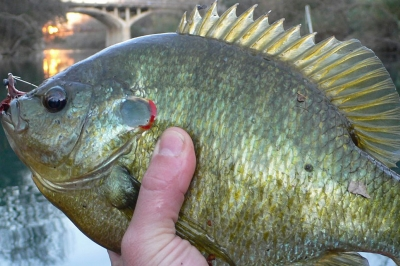 A person holds a red ear sunfish. The fish is mottle green and yellow and has a bright red curve behind its gill