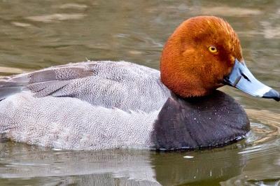 Redhead Oregon Department Of Fish Amp Wildlife