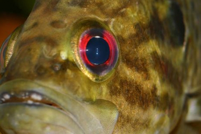 A close up of a warmouth fish. The fish is mottled green and brown and has bright red eyes.
