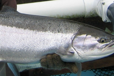 Wild steelhead at Clackamas Hatchery