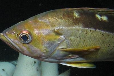 Yellowtail rockfish | Oregon Department of Fish & Wildlife