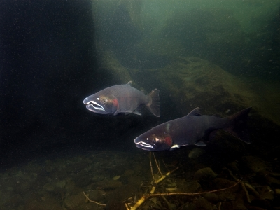 Two coho salmon in Eagle Creek