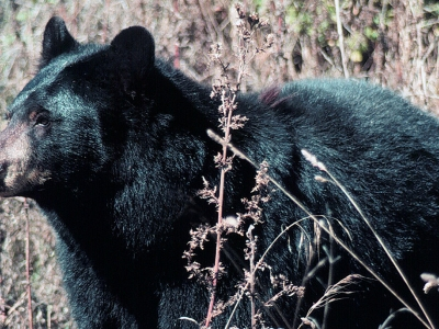 A black bear walks through tall brush.
